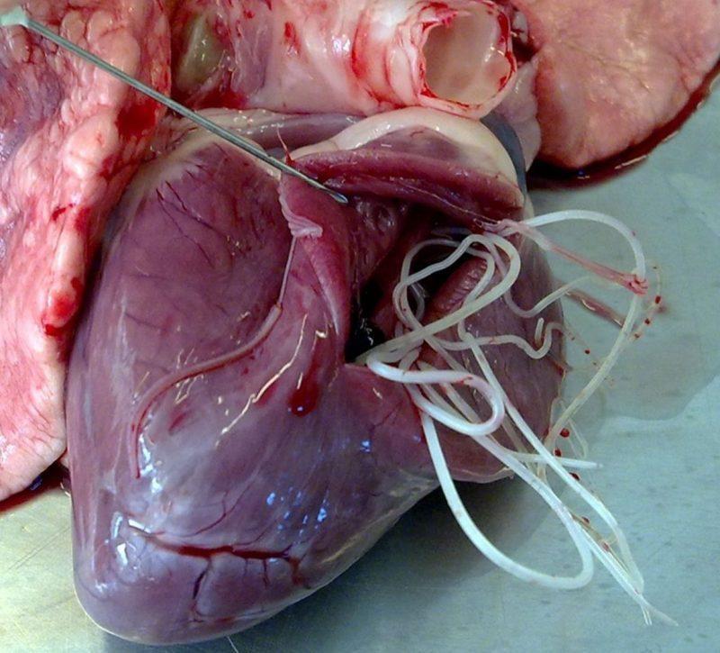 Dirofilarioza la caini – Simptome, Cauze si Tratament